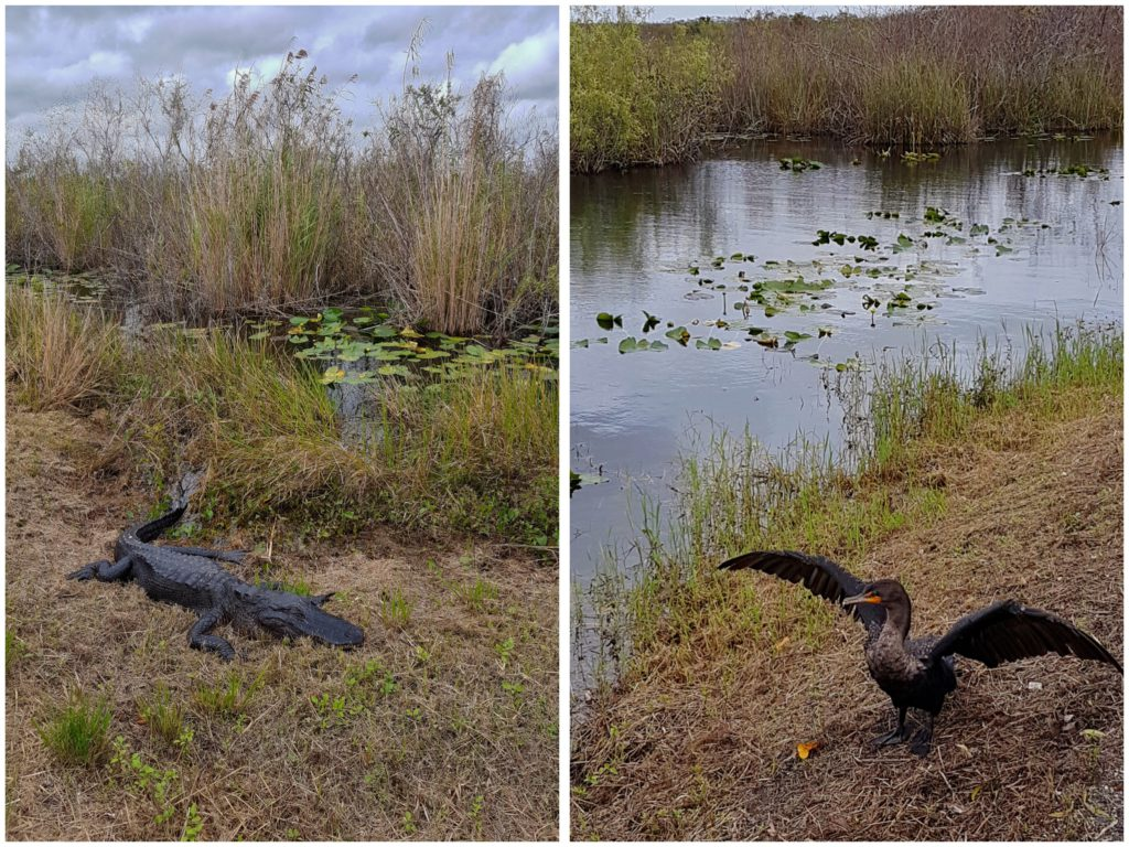 alligators spotten in de everglades