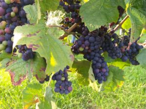 belgische wijn alt hoeselt