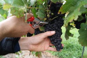 Belgische wijn Vin de Goffin