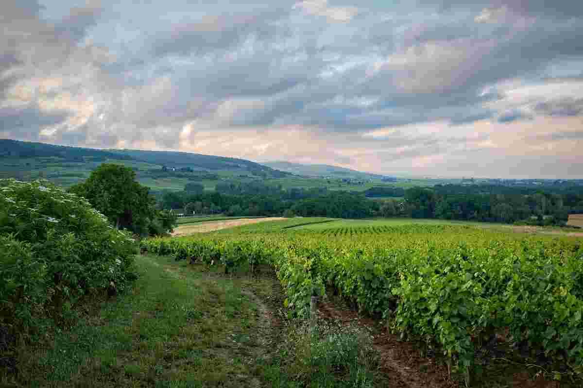 wijngaard in bordeaux