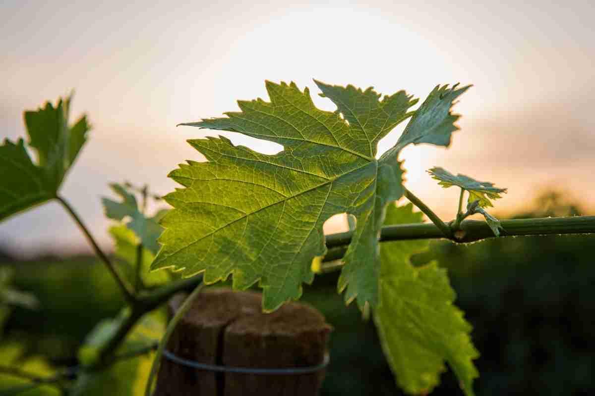 wijngaard Toscane